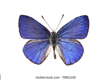 Butterfly, Common Pencil Blue, Candalides absimilis, male, wingspan 30mm