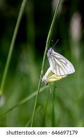 Butterfly couple Pieris napi
