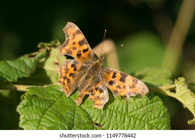Butterfly with damaged wings.