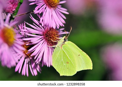 Butterfly drinking nectar from flowers of chrysanthemums. Gonepteryx rhamni (known as the common brimstone) is a butterfly of the family Pieridae.