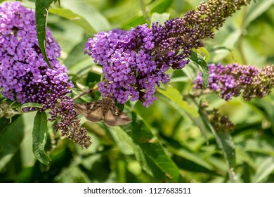 Butterfly drinks nectar off a summer lilac with wings beating