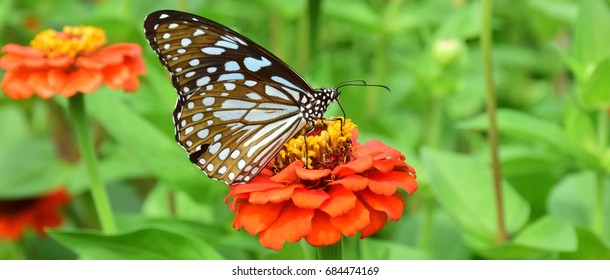 Butterfly eat nectar from flower by proboscis mouth