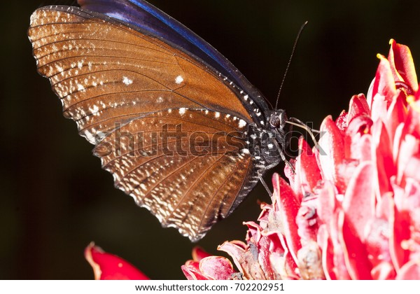 butterfly eating nectar