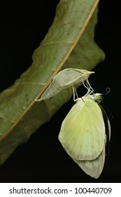 butterfly  emerging from it's chrysalis