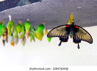 Butterfly emerging from it's chrysalis. Taken in St. Martin.