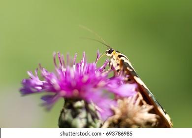 Butterfly Euplagia quadripunctaria