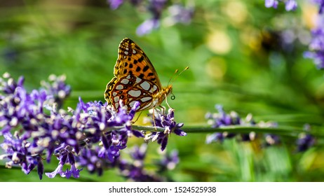 A butterfly of the family nymphalidae named Queen of Spain fritillary or Fritillary butterfly, (Issoria lathonia), sucking nectar with the proboscis from the blue lavender in Uppland, Sweden.
