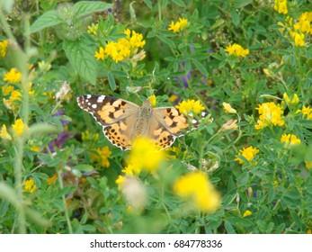 Butterfly feeding from a flower