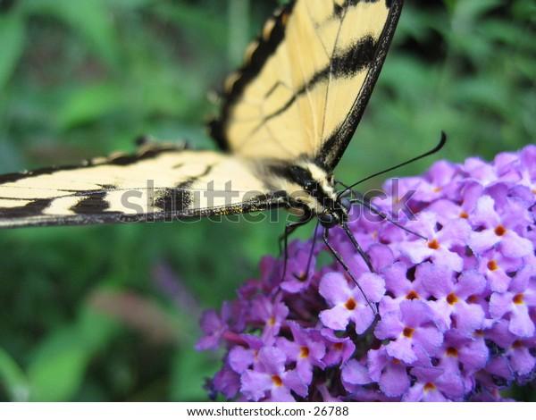 A butterfly feeding on a flower.