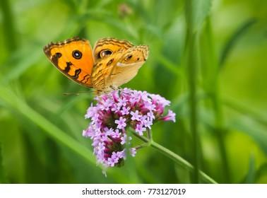 Butterfly feeding on pink flower