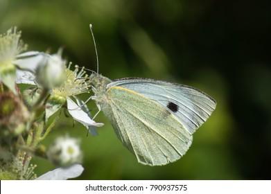 The butterfly feeds on the flower of the blackberry plant