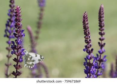 butterfly in a field of wild Sage flower