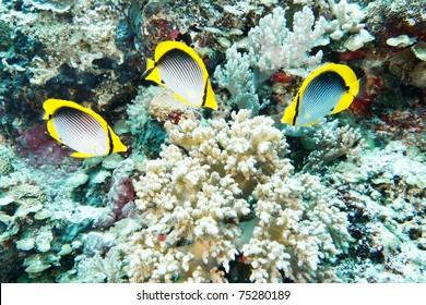 butterfly fish eating