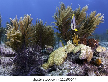 Butterfly Fish facing camera on a beautiful coral reef in key largo, florida with a bright blue water background