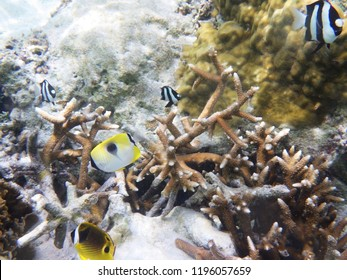 Butterfly fish over coral reefs