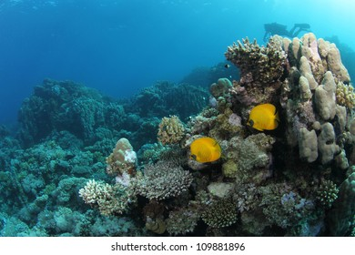 Butterfly fish in tropical reef with diver in the background