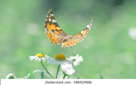 Butterfly flies over daisy flowers. Butterfly closeup with beautiful wings. Macro.