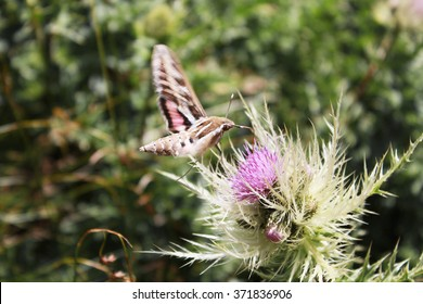 butterfly in flight hangs over thistle flower; butterfly, which feeds in flight; White-lined Sphinx moth (Hyles livornica or Hyles lineata)