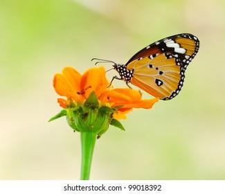Butterfly in flower garden. (Danaus chrysippus ; Plain Tiger)