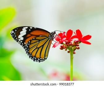 Butterfly in flower garden. (Danaus genutia ; Common Tiger)