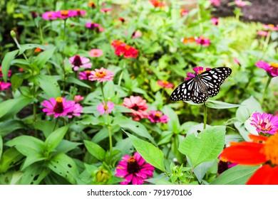 Butterfly in the flower garden. Butterfly feeding from flower.