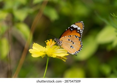 Butterfly and flower,common tiger