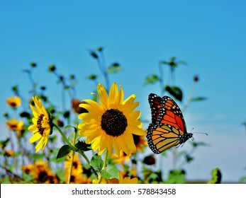 Butterfly Flying by Sunflower
