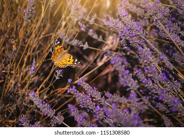 A butterfly flying on dry lavenders flowers on lavender fields in a hot sunny day with retro fliter,