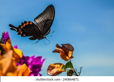 Butterfly flying over colorful dried bougainvillea flowers