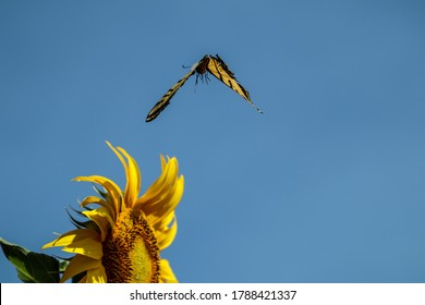butterfly flying to a sunflower