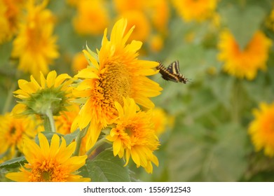 butterfly flying towards a sunflower