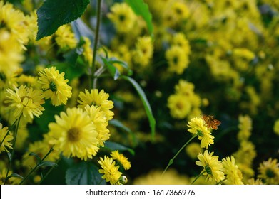 Butterfly foraging a yellow chrysanthemum flower in a field