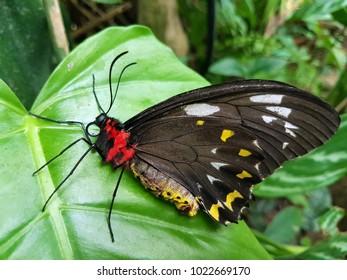 A butterfly in the butterfly garden in Kuranda, Australia.
