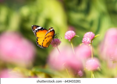butterfly and globe amaranth Pink background