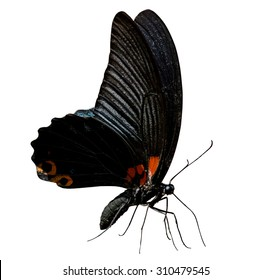 The Butterfly (Great Mormon, Papilio memnon) isolated and background