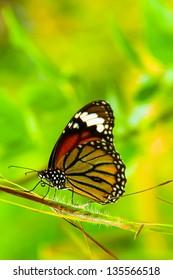 butterfly in green field