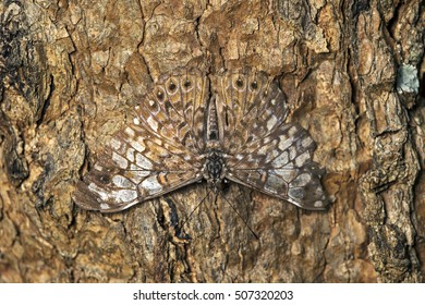 Butterfly of Hamadryas species perching well camouflaged on the trunk of a tree