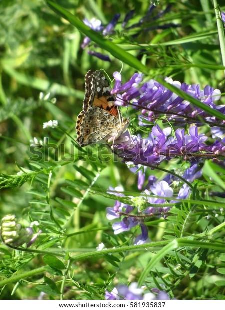 Butterfly has sat down on a field flower.