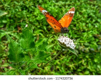 The butterfly having yellow,pink,and red colour sit on the fresh white flower ,looks very beautiful with green background