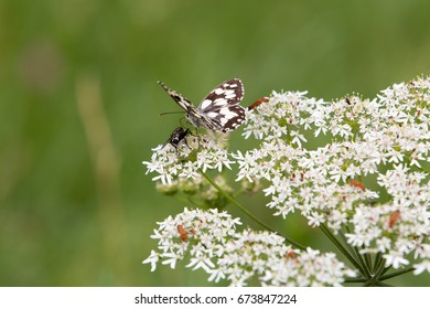 Butterfly and horse-fly fighting over the dominion of a piece of cow parsley.