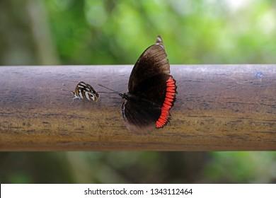 Butterfly, Iguazu National Park, Argentina