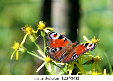 butterfly Inachis io