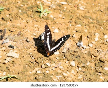Butterfly; the Indian Purple Emperor opens wings at the back position while resting with other species and having food on the rich- mineral area with background blurred.
