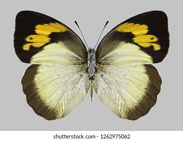 Butterfly Ixias pyrene (female) on a gray background
