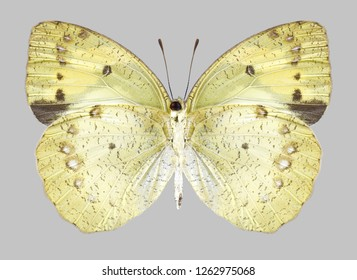 Butterfly Ixias pyrene (female) (underside) on a gray background