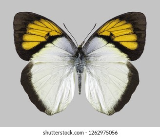 Butterfly Ixias pyrene (male) on a gray background