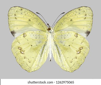 Butterfly Ixias pyrene (male) (underside) on a gray background