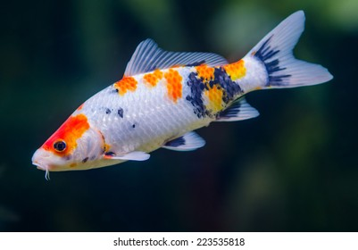 Butterfly koi carps fish