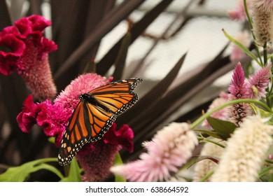 butterfly at Krohn conservatory