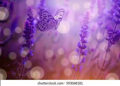 Butterfly and lavender wild flower in spring / summer sunset at the nature